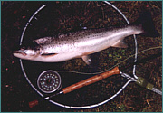 A Summer Sea Trout
